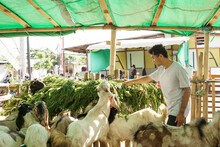 Asian Traditional Farmer Preparing Some Food For His Farm Animal. Goat And Cow Feeding Time