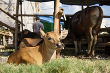Portrait Of Brown Cow Or Bull In The Traditional Farm Of Indonesia