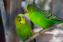 Two Green Yellow Parrots (The ...