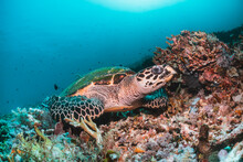 Green Sea Turtle Underwater,  ...
