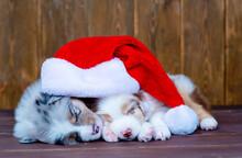 Australian Shepherd Puppies Wearing Red Hats Sleep. Christmas Background