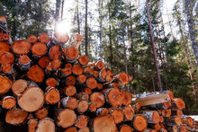 A Pile Of Freshly Cut Logs In Estonian Boreal Forest.