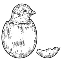 Chicken Hatched From Egg. Sket...