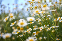 Wild Flowers Of The Chamomile,...