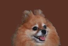 Portrait Of Pomeranian Dog