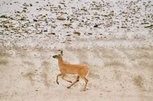 Yearling Deer On The Beach