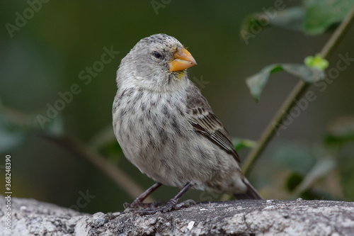 Tableau sur Toile Female Large Ground Finch (Geospiza magnirostris) - Galapagos Islands, Ecuador