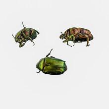 Cetonia Aurata, Three Green Be...