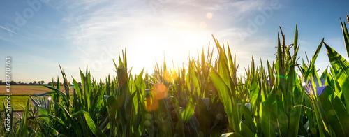 Obraz Corn field garden agriculture in countryside - fototapety do salonu