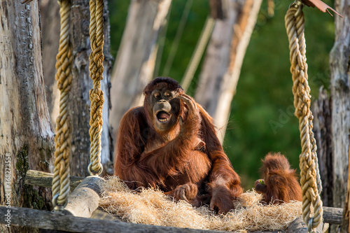 Orangutan With Baby At The Apeldoorn Zoo The Netherlands 2018 Canvas Print