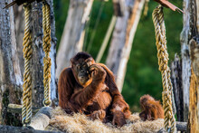 Orangutan With Baby At The Apeldoorn Zoo The Netherlands 2018