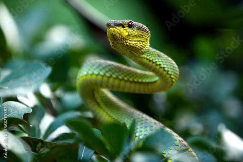 Green mangrove pit viper  is a venomous pit viper species native to India, Bangladesh and Southeast Asia Canvas Print