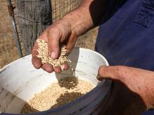Farmer's Hands Inspecting Oat ...