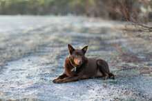 Brown Kelpie Dog Outdoors Lying On The Dirt