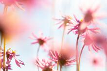 Pink Everlasting Wildflowers F...