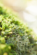 Green Sunlit Lichen Growing In...