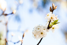 White Blossoms On Bush With Co...