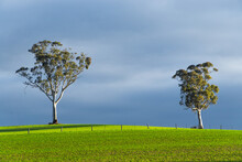 Two Isolated Gumtrees On A Gre...