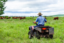 Farmer On Quad Bike Checking Cattle In Green Paddock
