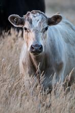 Murray Grey Calf In The Long Seedy Grass