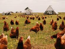 Free Range Chicken Farm.