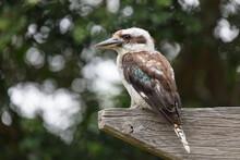 Kookaburra Perched On Wooden Beam Looking For Food