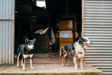 Three Farm Dogs See Something Happening In The Sheep Shed.