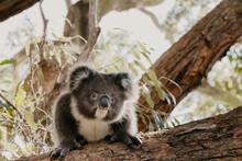 Koala On A Gum Tree Branch.