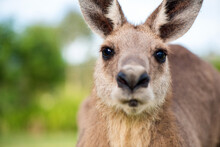 Kangaroo Looking Directly Into...