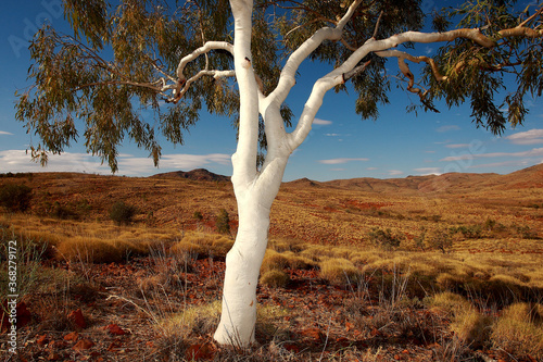 Fototapeta Lone ghost gum tree and spinifex grass in outback Northern Territory