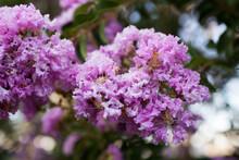 Pink Crepe Myrtle Flowers