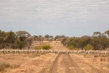 Merino Sheep Walking In Dry Paddock
