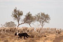 Sheep Dog Following Behind Mer...