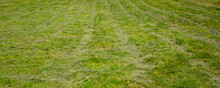 Rows Of Cut Green Grass In The...
