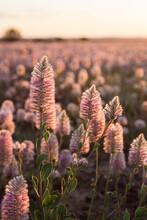 Mulla-mulla Flowers In Sunlight