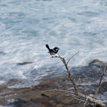 Blue Wren On A Branch By The Sea