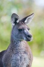 Close Up Portrait Of A Kangaroo Looking To The Side