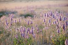Field Of Purple Mulla Mulla Wi...
