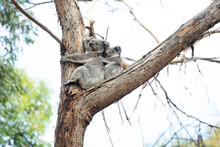 Mother And Sleeping Baby Koala...