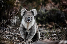 Curious, Healthy Koala Sitting On Twiggy Ground Staring At Camera