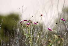 Pincushion Flowers With Sand Dune In Background