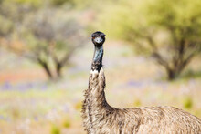 Head And Upper Body Of Emu Looking At Camera