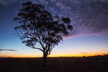 Gum Tree Silhouetted Against Twilight
