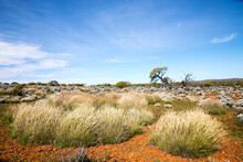 Spinifex Grass In Outback Land...