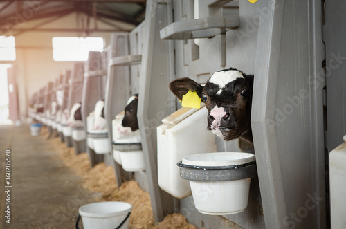 Fotografie, Tablou Dairy calves fed milk in the stable