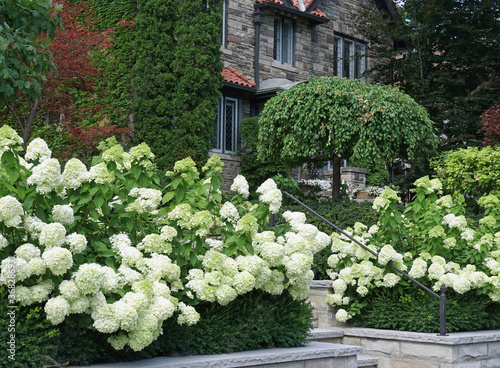 Garden with large cluster of white hydrangea flowers Wallpaper Mural