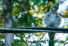 Young Blue Jay In Tree