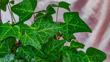 Green Ivy Leaves On Pink Background Close Up