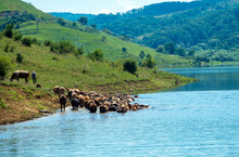 A Herd Of Cows Crossing A River