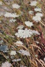 Wild Flower Queen Anne's Lace White Globe Floral Proper Name Daucus Carota